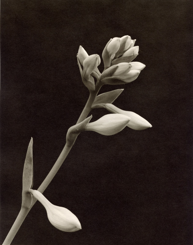 Black and white photo of a Hosta flower